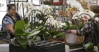 woman caring for orchid plants